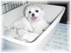 Whelping maltese dog using the reusable puppy pad to stay clean and dry